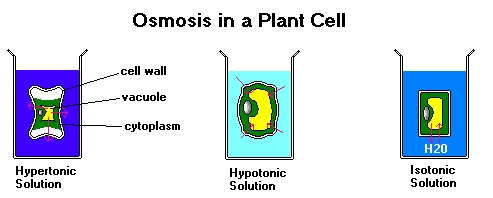 osmosis in plant cells essay